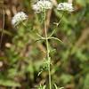 Pycnanthemum flexuosum, Appalachian Mountain Mint; Columbus County, North Carolina  2012-07-17  #1