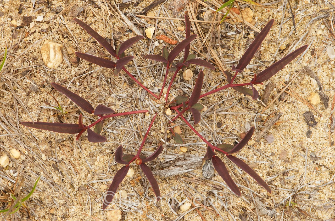 Euphorbia ipecacuanhae, ipecac spurge; Cumberland County, New Jersey 2017-05-24   3