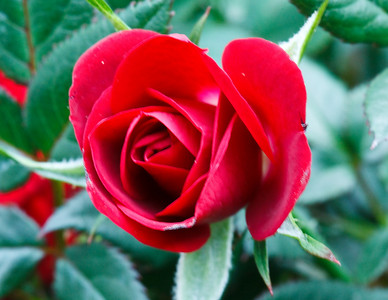 Miniature Rose Handheld @ 1-10 secIMG_8000