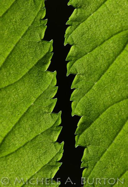 Backlit Leaf Detail