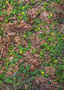 Viola sempervirens_2021-0406_Michele Burton-2