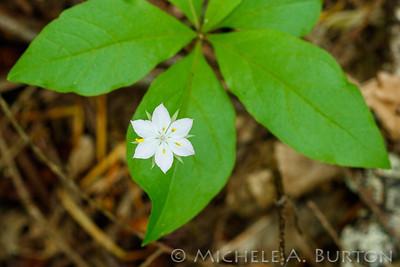 western starflower_2021-0512_Michele Burton