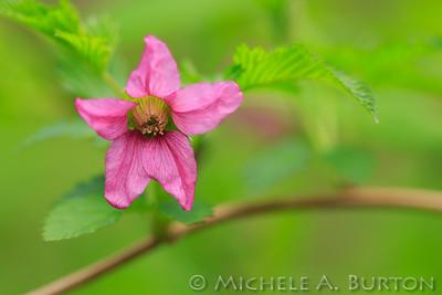 Salmonberry_2021-0402_Michele Burton