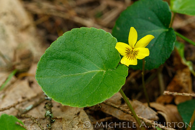 Viola sempervirens_2021-0423_Michele Burton