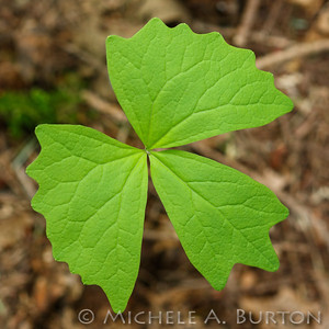 Vanilla-leaf_2021-0423_Michele Burton
