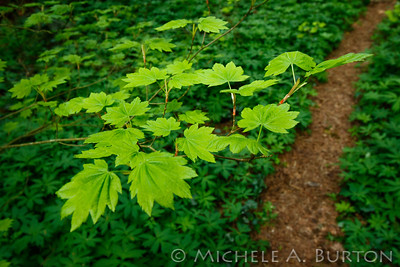 Vine maple_2021-0423_Michele Burton