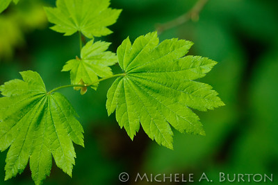 Vine maple_2021-0423_Michele Burton-2