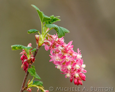 Red-flowering currant_2021-0401_Michele Burton