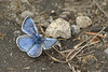Silvery Blue butterfly