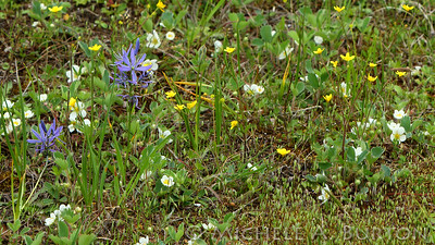 Take a close look and you will see many species of plants, including camas, strawberry and buttercup