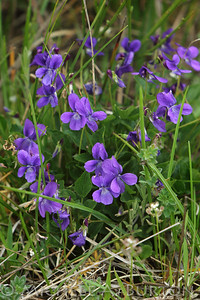 Early-blue violet