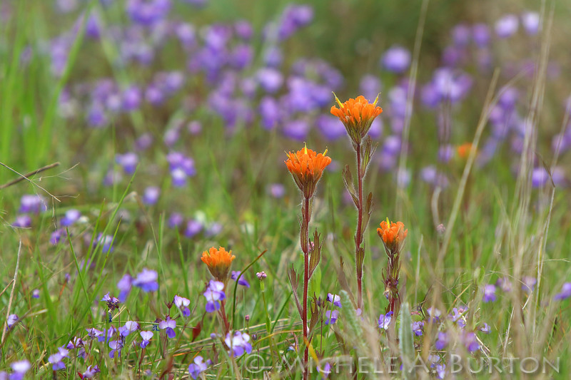 Paintbrush and Small-flowered blue-eyed Mary