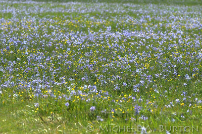 A field with blue camas and native buttercup