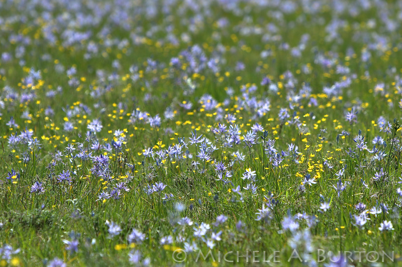 Camas and buttercup