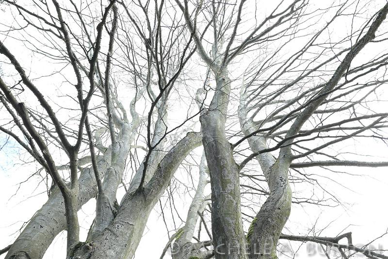 Ghostly Tree - Volunteer Park, Seattle, Washington