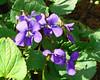 Common Blue Violets