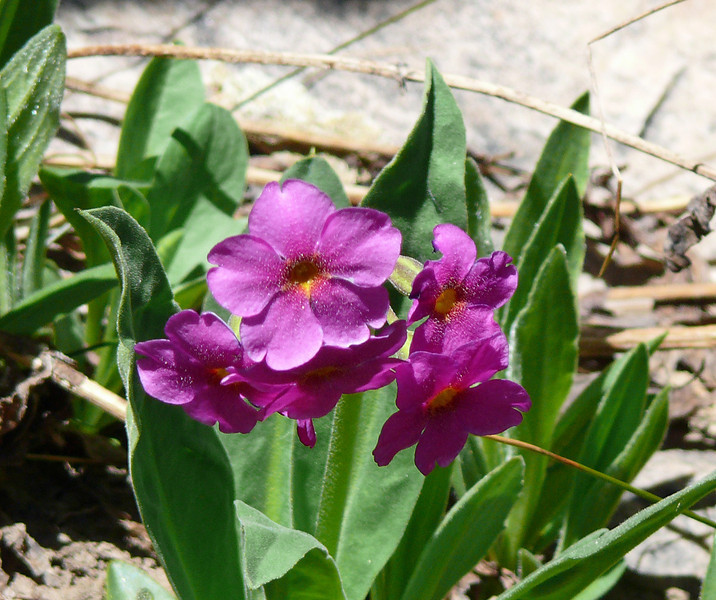 Parry Primrose at 10,000 Feet