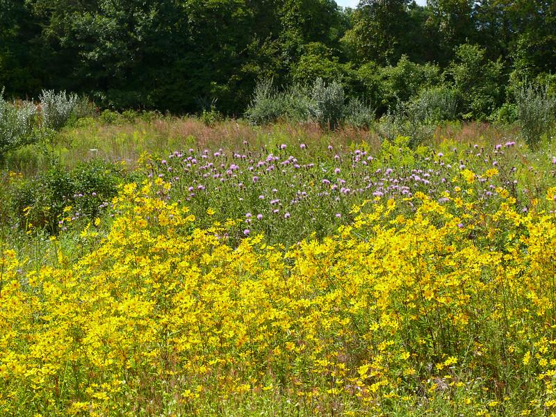 Wildfower Meadow