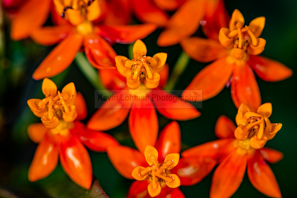 Red Mexican Milkweed (Asclepias curassavica)