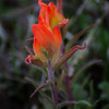 Indian Paintbrush #1
