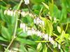 Swamp Sweetbells