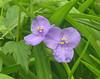 Spiderwort Flower