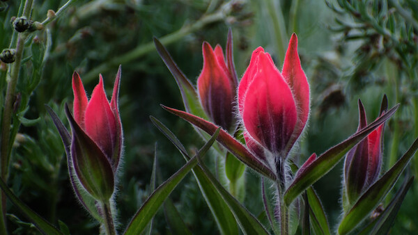 Indian Paintbrush #2