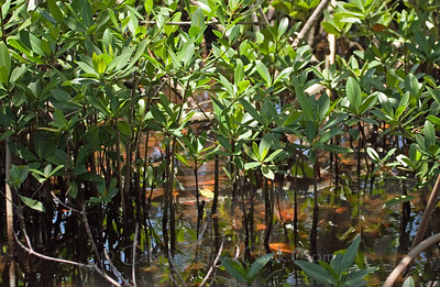 Mangroves - Ding Darling Wildlife Preserve - Sanibel, FL