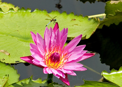 Water lily with a dragonfly