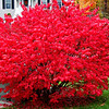 Autumn comes to my yard. - Burning Bush.