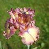 Bearded Iris, from my yard