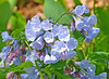 Virginia Bluebells,