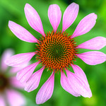 Purple Coneflower / Echinacea