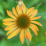 Yellow Coneflower / Echinacea