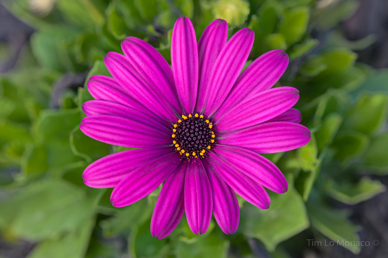 Purple African Daisy [V1]