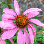 Echinacea with Morning Dew