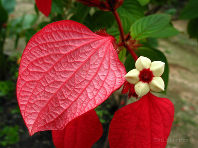 Small Flower with Red Leaves