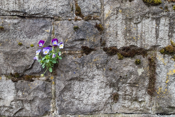 Pansies On Wall, Portland, OR