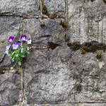 Pansies On Wall, Portland, OR