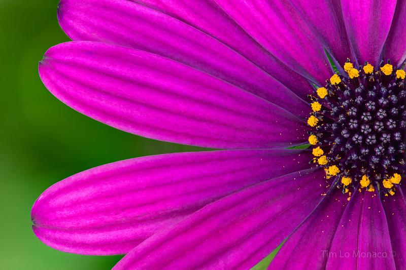 Purple African Daisy [V2]