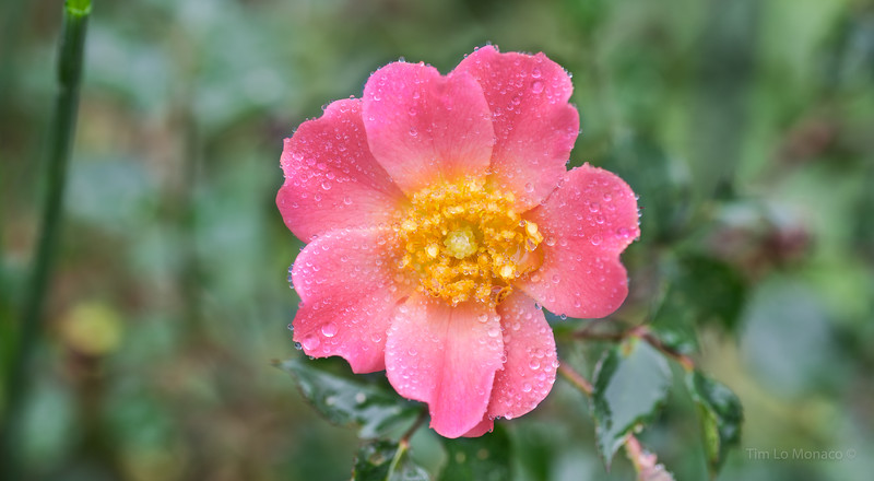 Prarie Rose After Rain