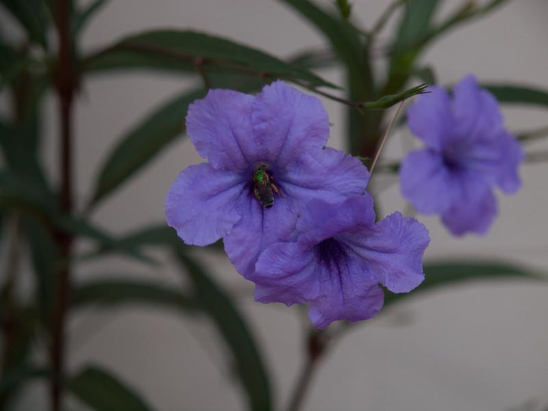 Bee in flower in Helen's garden