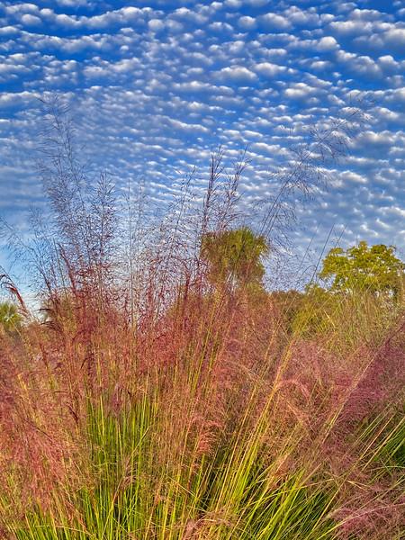 Ornamental Grass and  Mackerel Sky