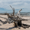 Driftwood on Big Talbot Island