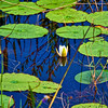 Water Lillies at Crews Lake