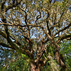 Florida's Second Largest Live Oak