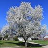 Bradford Pear in the Spring