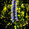 Pickerelweed in Bloom