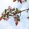 Crabapple in bloom