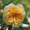 Yellow Rose - Melinda